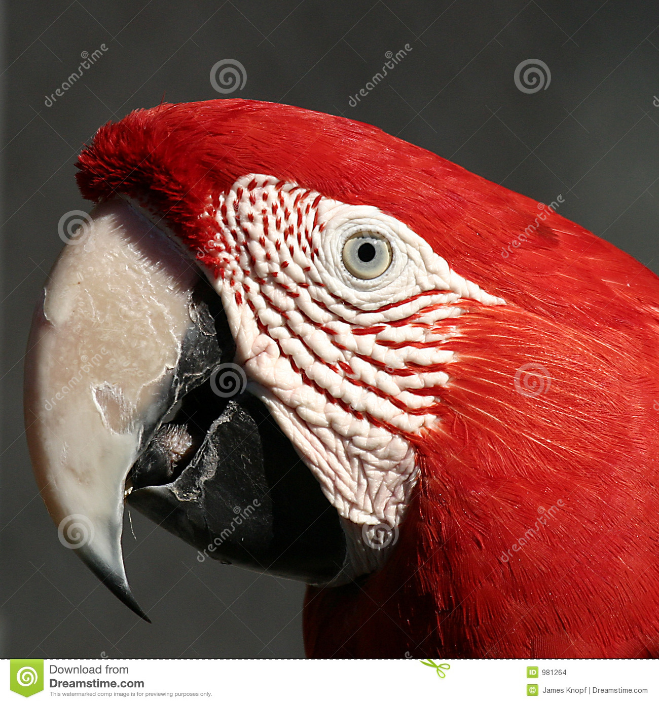 Macaw rouge