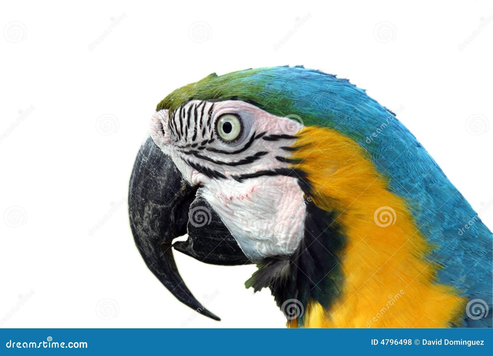 Macawpapagei