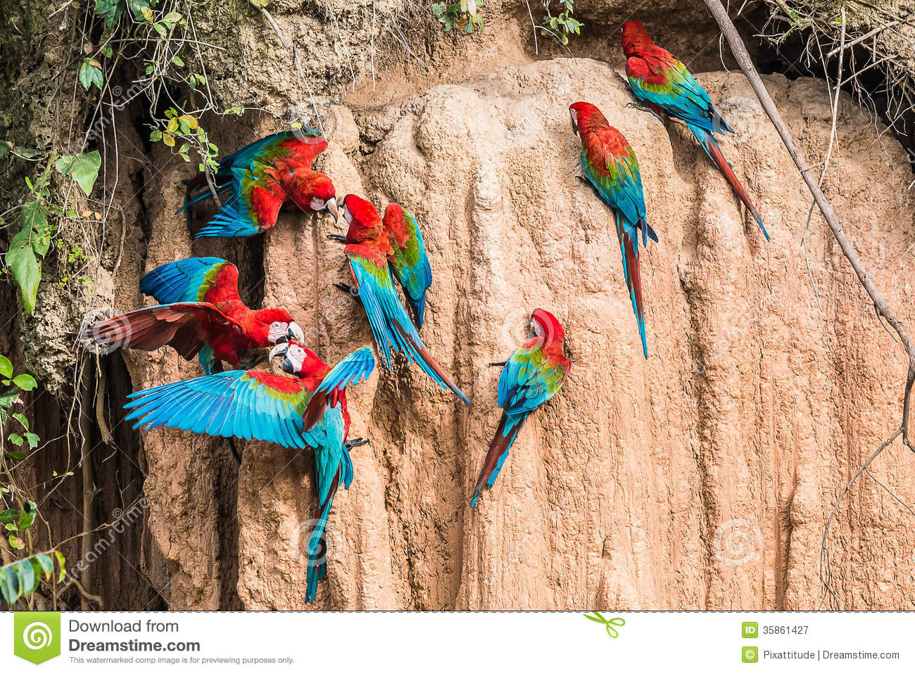 Macaws clay lick peruvian Amazon jungle Madre de Dios Peru
