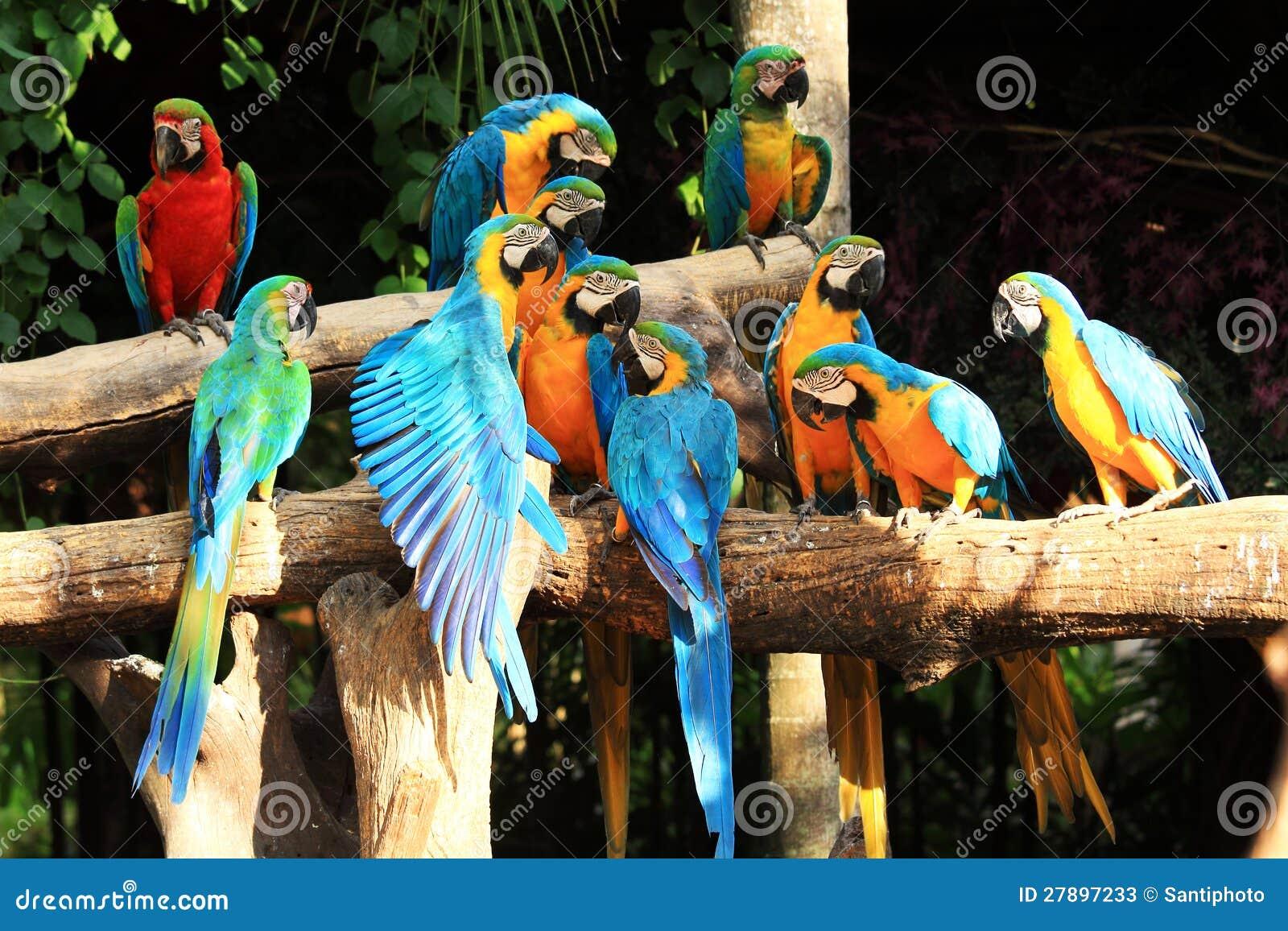 Macaws de perroquet de groupe