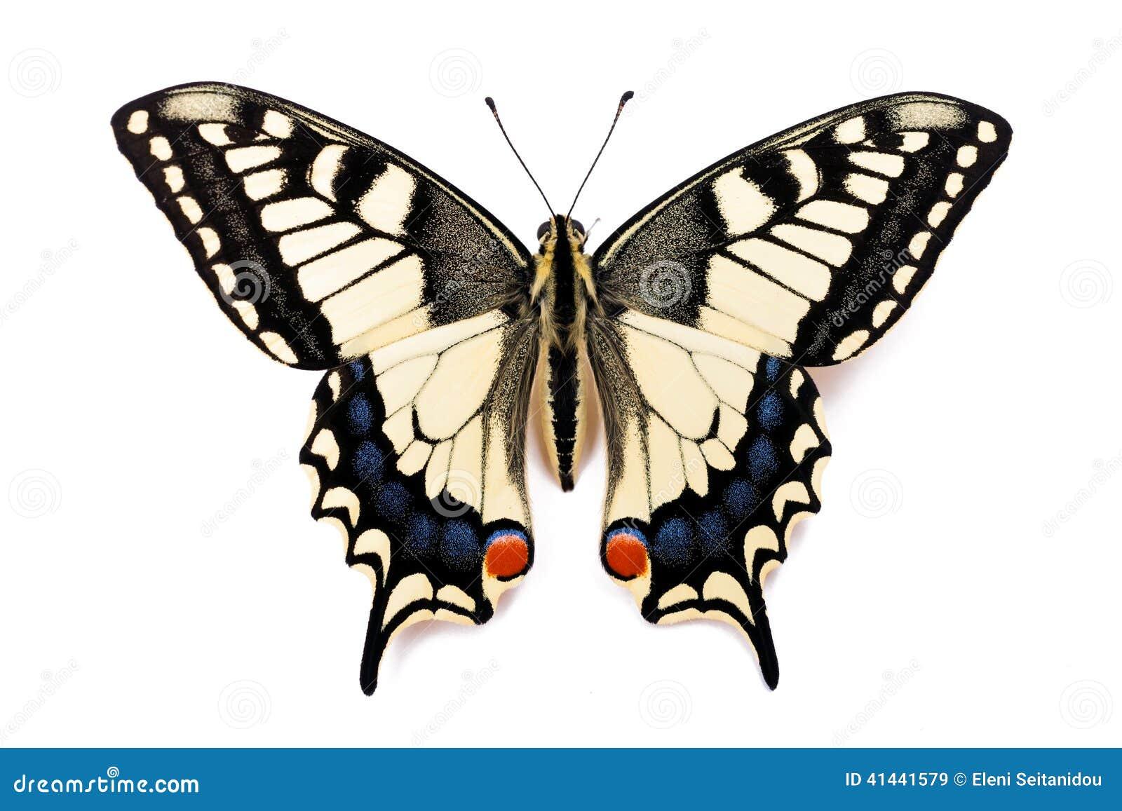 Machaon de Papilio da borboleta