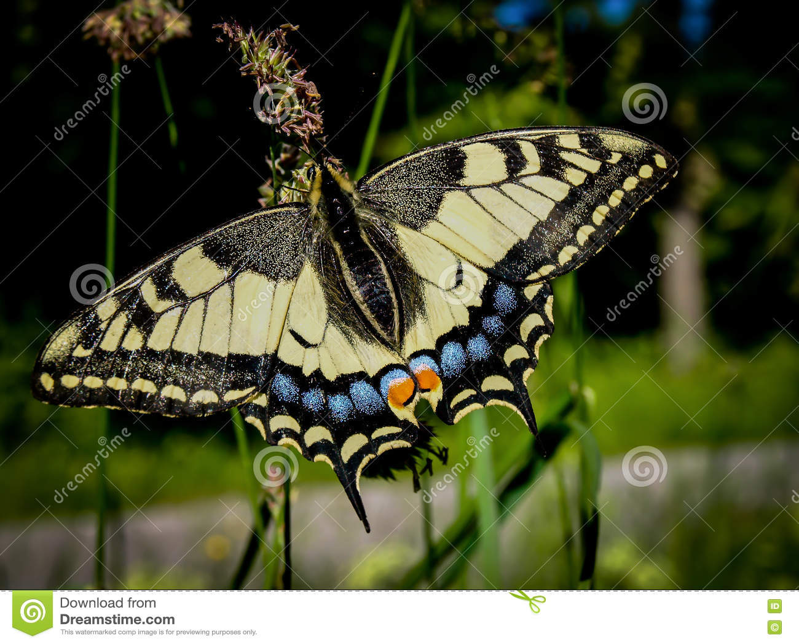 Machaon de Papilio de machaon de Vieux Monde