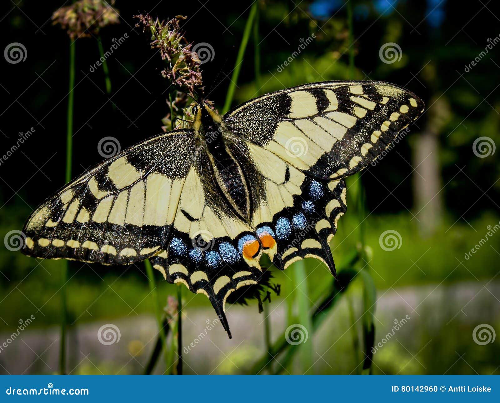 Machaon de Papilio do swallowtail do Velho Mundo