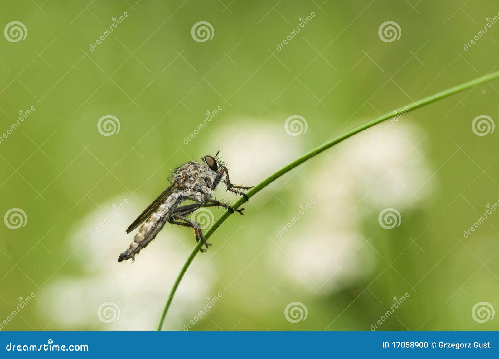 Machimus atricapillus