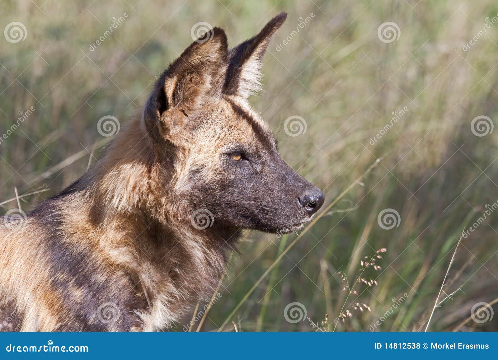Macho alfa africano de cão selvagem