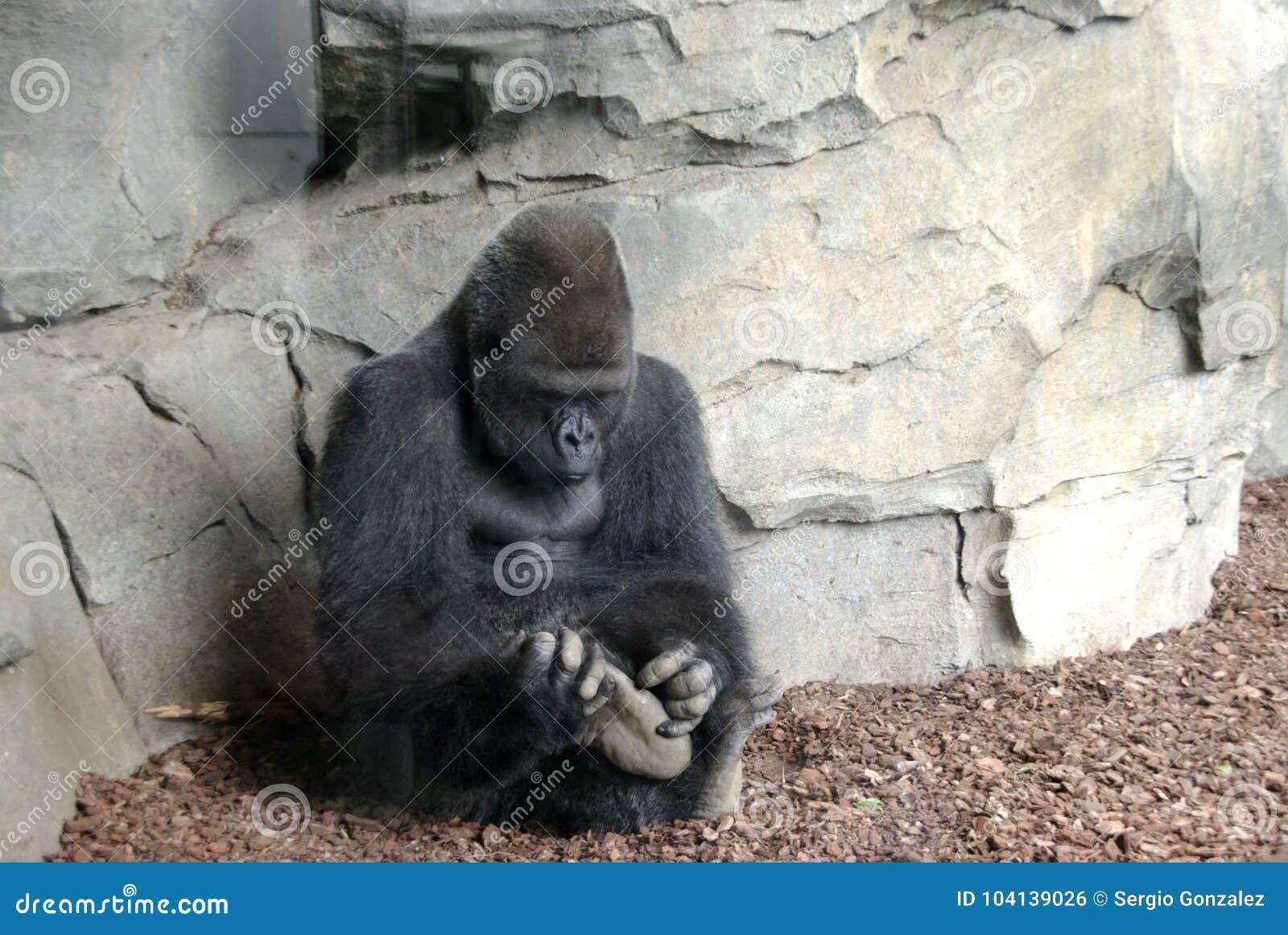 Macho de gorille