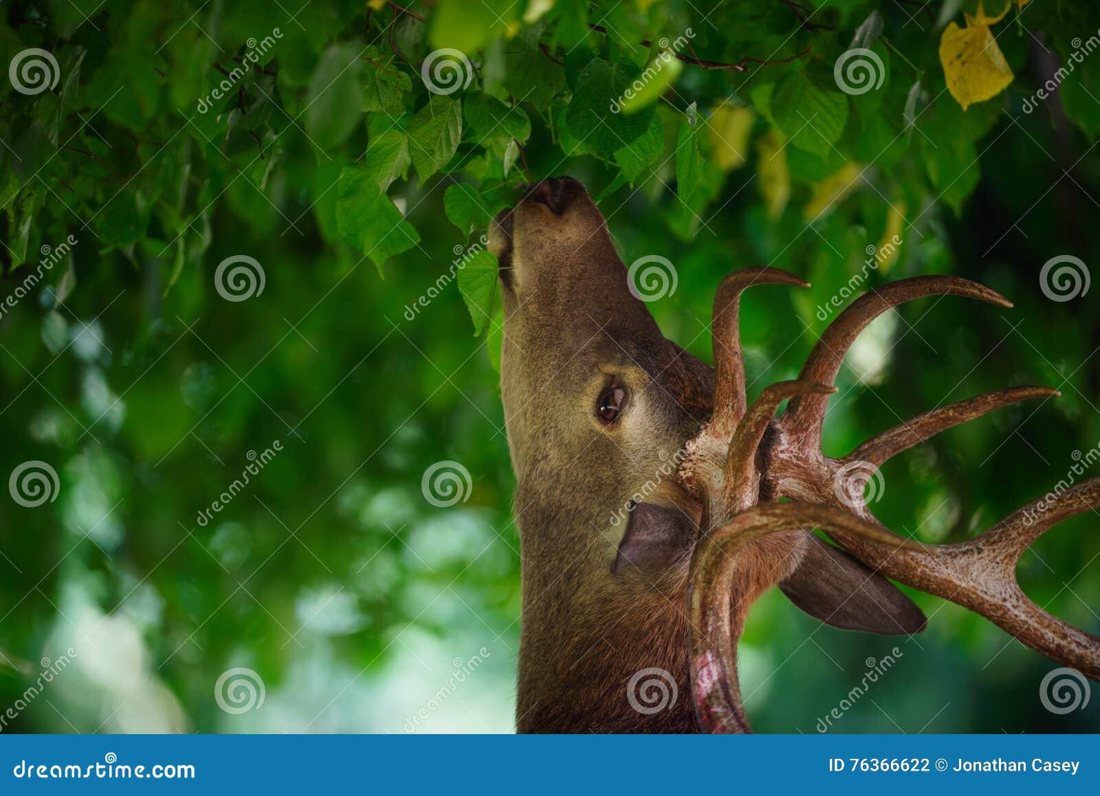 Macho de los ciervos comunes que come de un árbol