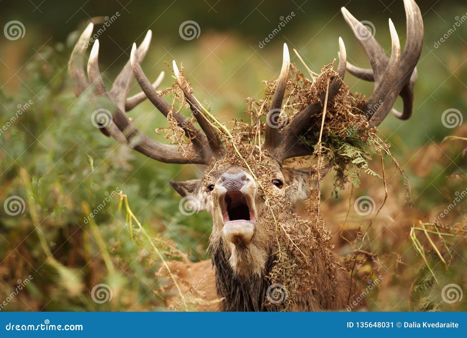 Macho de los ciervos comunes que ruge con los helechos cubiertos alrededor de sus astas