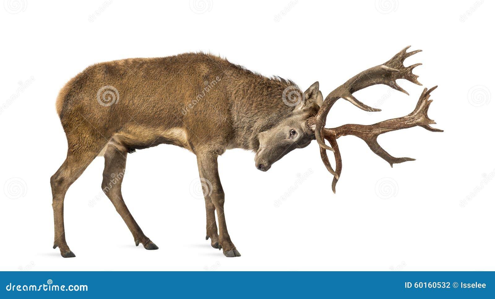 Macho de los ciervos rojos