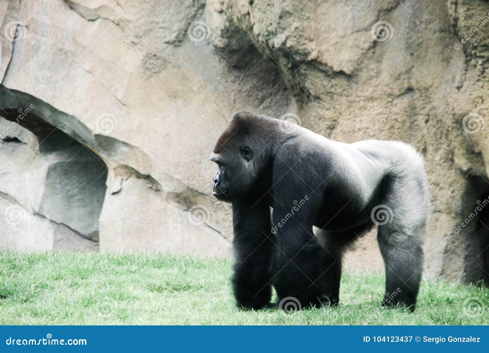 Macho gorilla