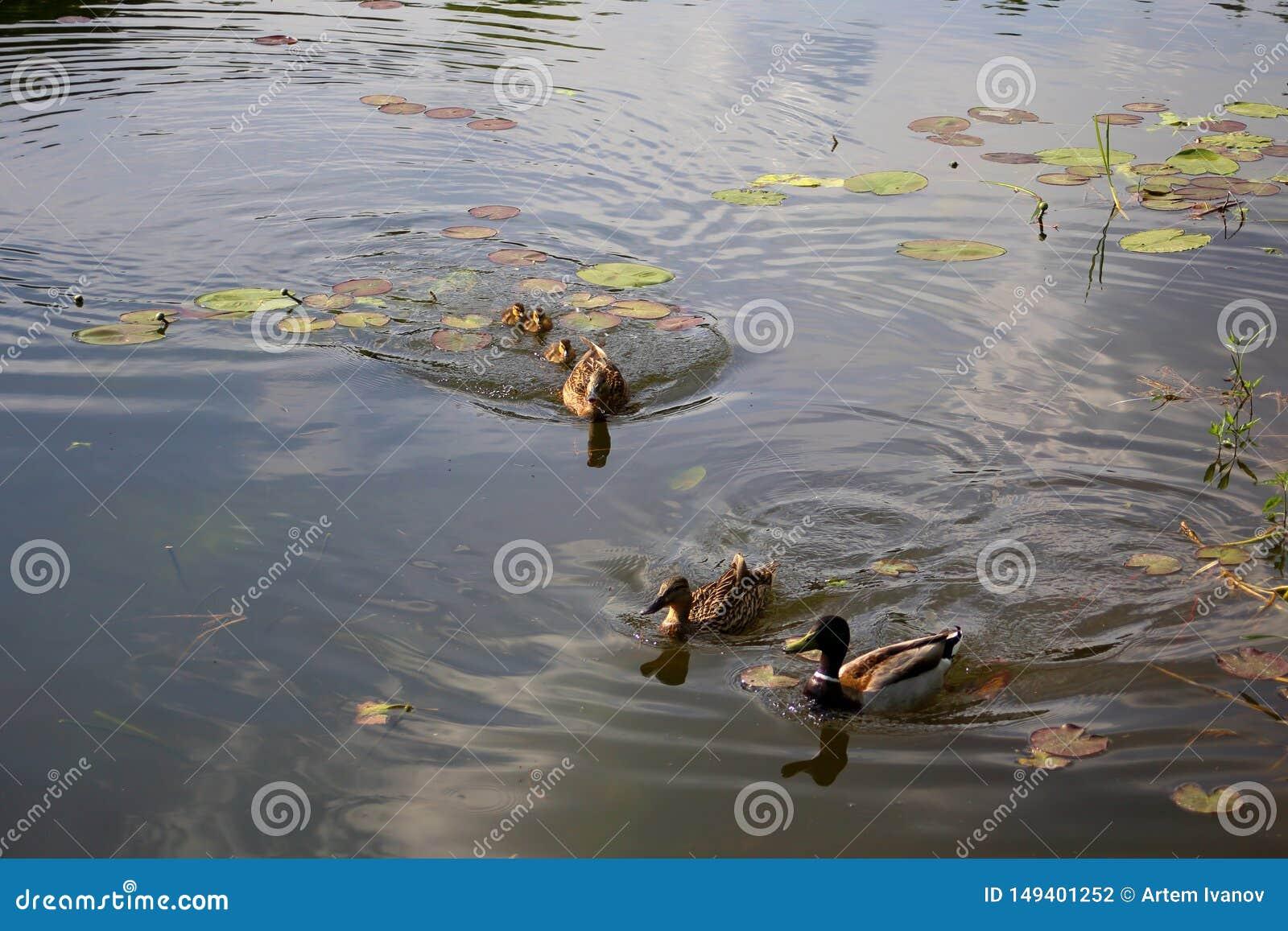 Macierzysta kaczka broni wylęgu ostatnio klujący się kaczątka od innych kaczek