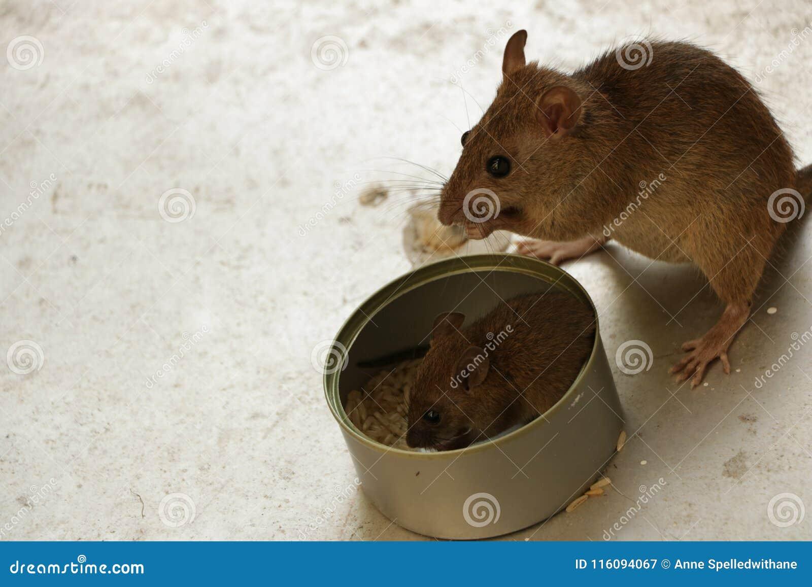Macierzysta mysz Ogląda jej Małej ciuci Jeść Rice Inside Blaszaną puszkę