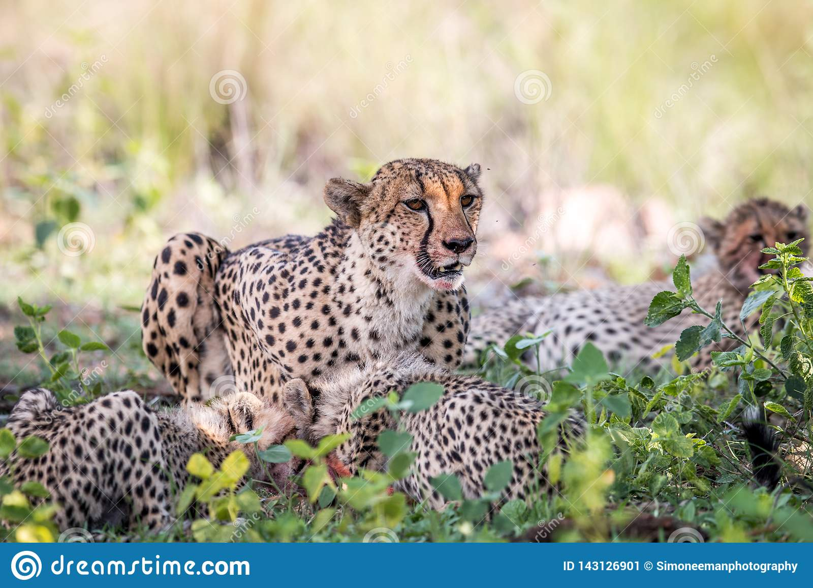 Macierzysty gepard i lisiątka karmi na Impala