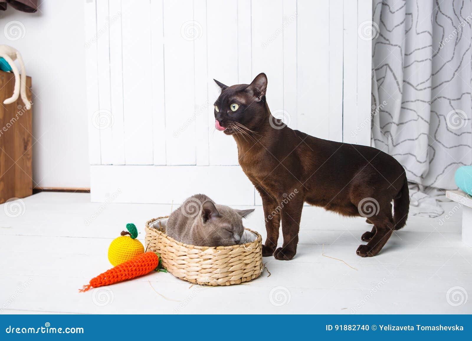 Macierzysty kot całuje, obmycia, liże jej dziecko figlarki Łozinowy kosz, biały tło