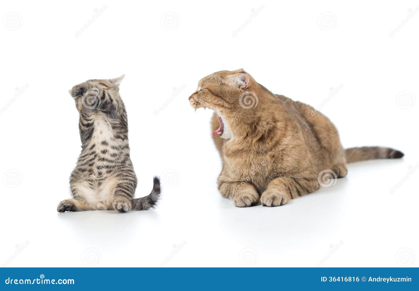 Macierzysty kot krzyczy przy przelękłym figlarki dzieckiem