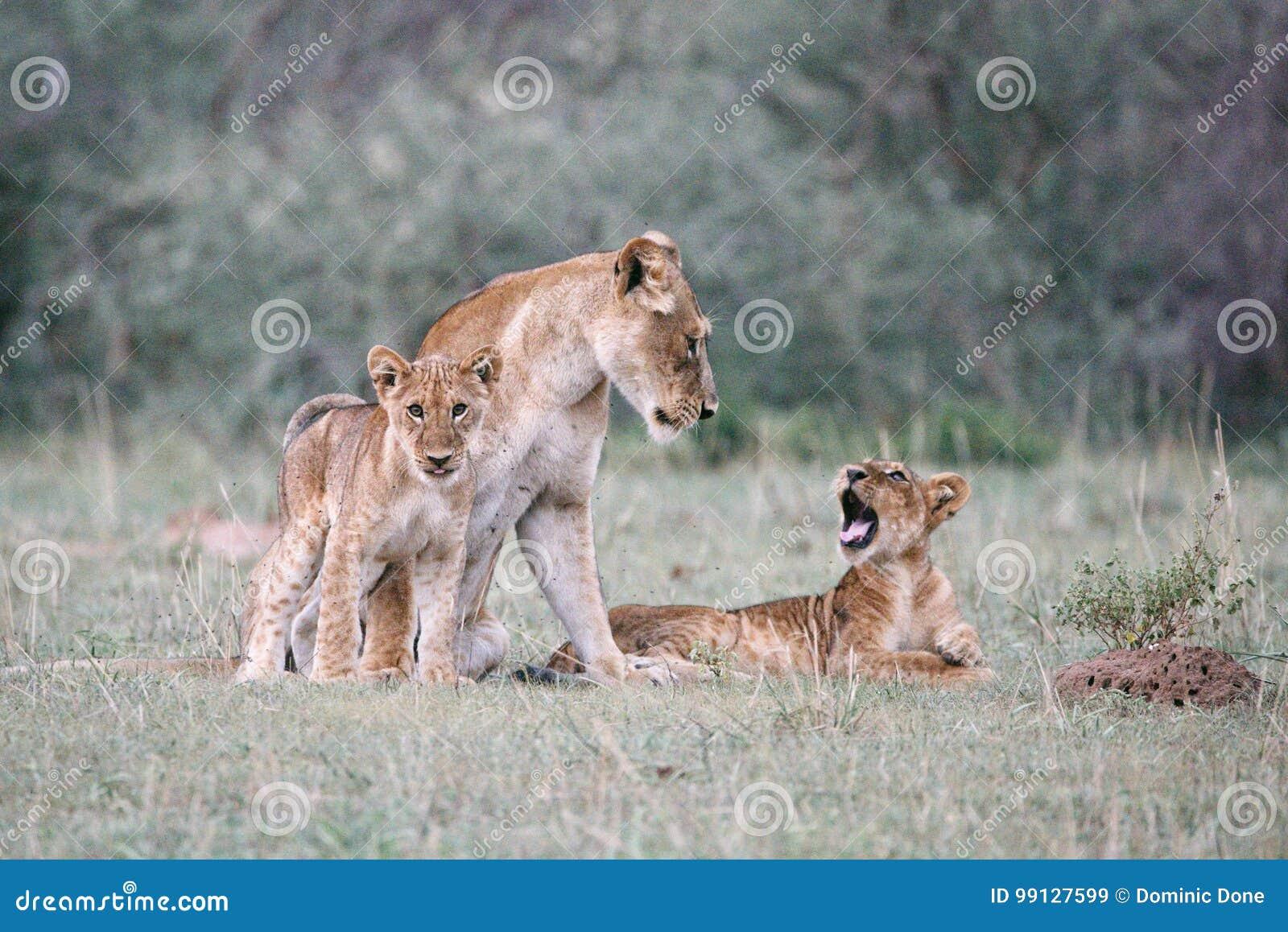 Macierzysty lew i jej 2 lisiątka