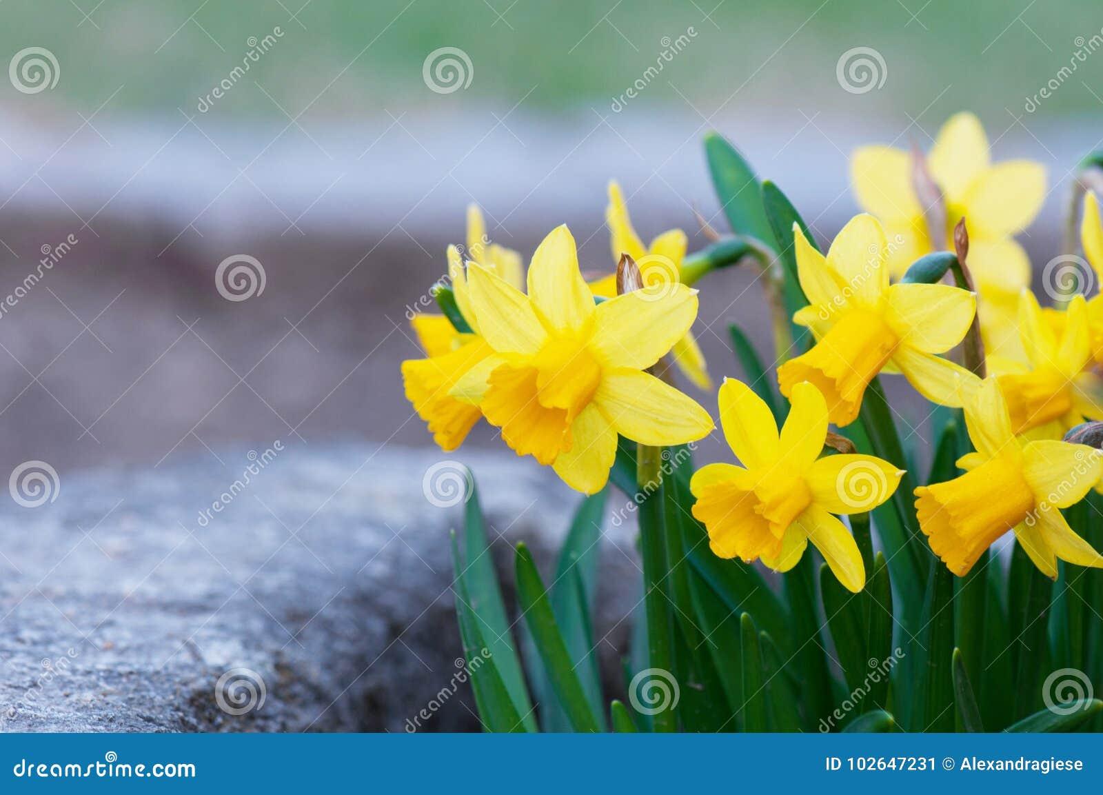 Macizo de flores amarillo del narciso