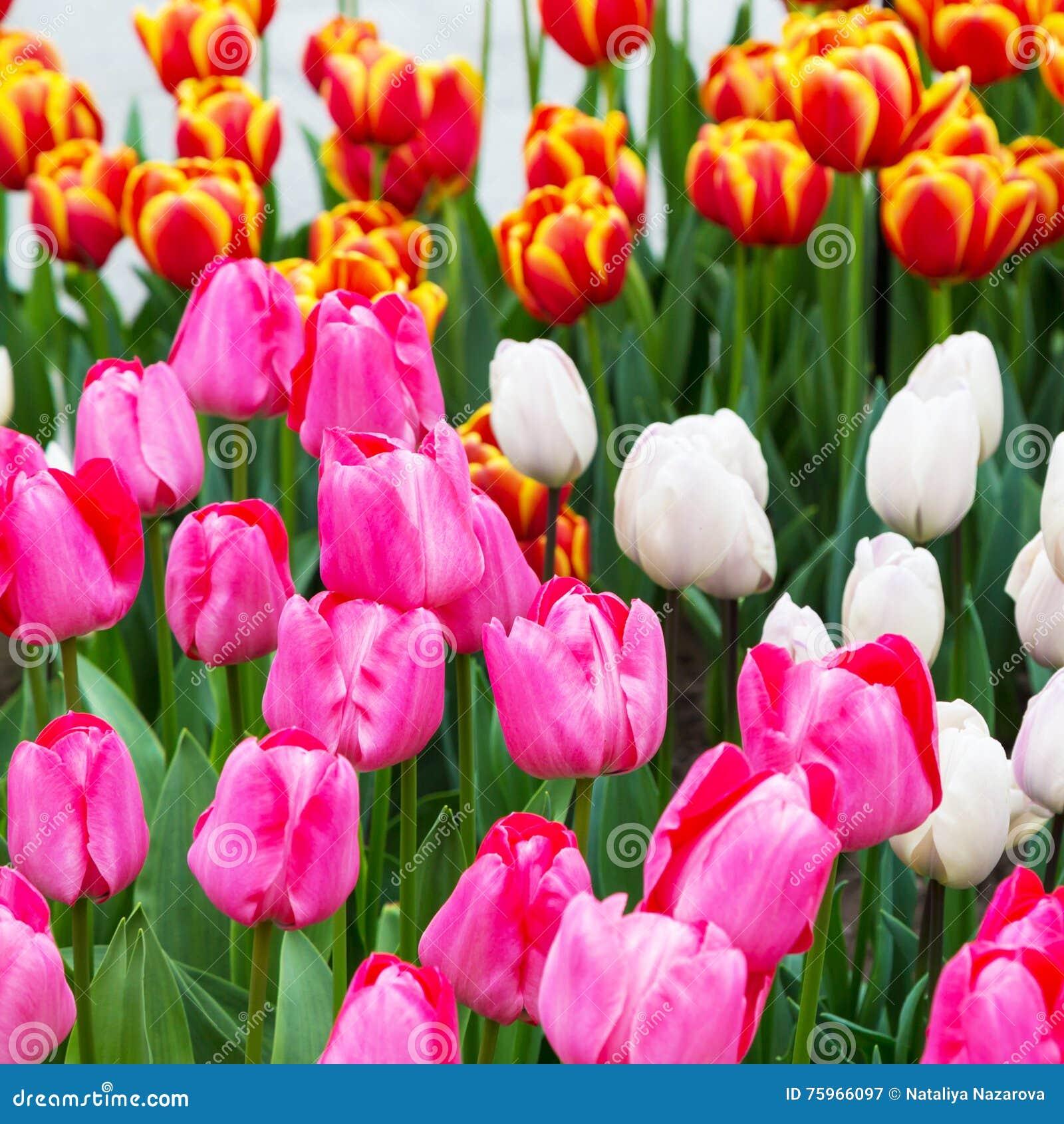 Macizo De Flores Del Tulipan Rojo Tulipanes Amarillos En El Jardin