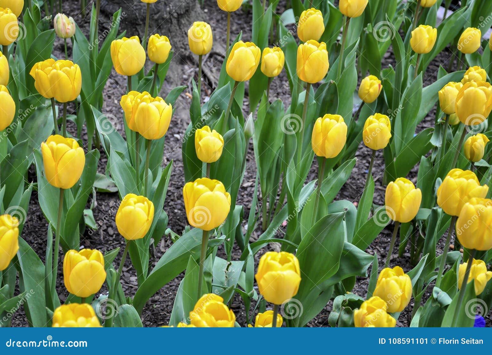 Macizo De Flores De Tulipanes Amarillos Vibrantes En Primavera