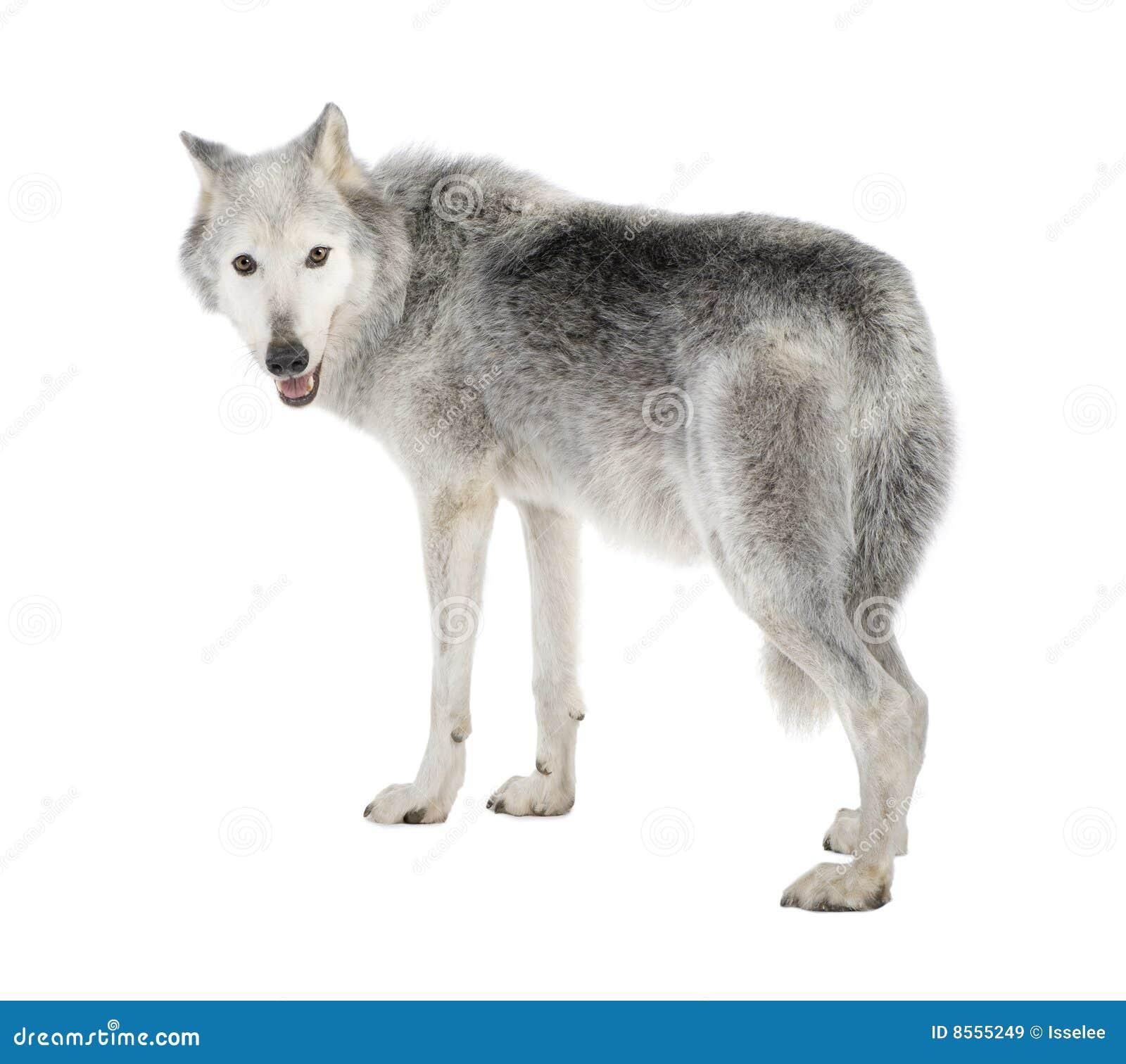 Mackenzie valley wolf - photo#20