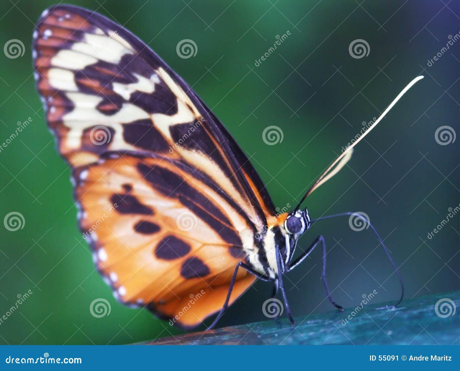 Macro #2 de la mariposa