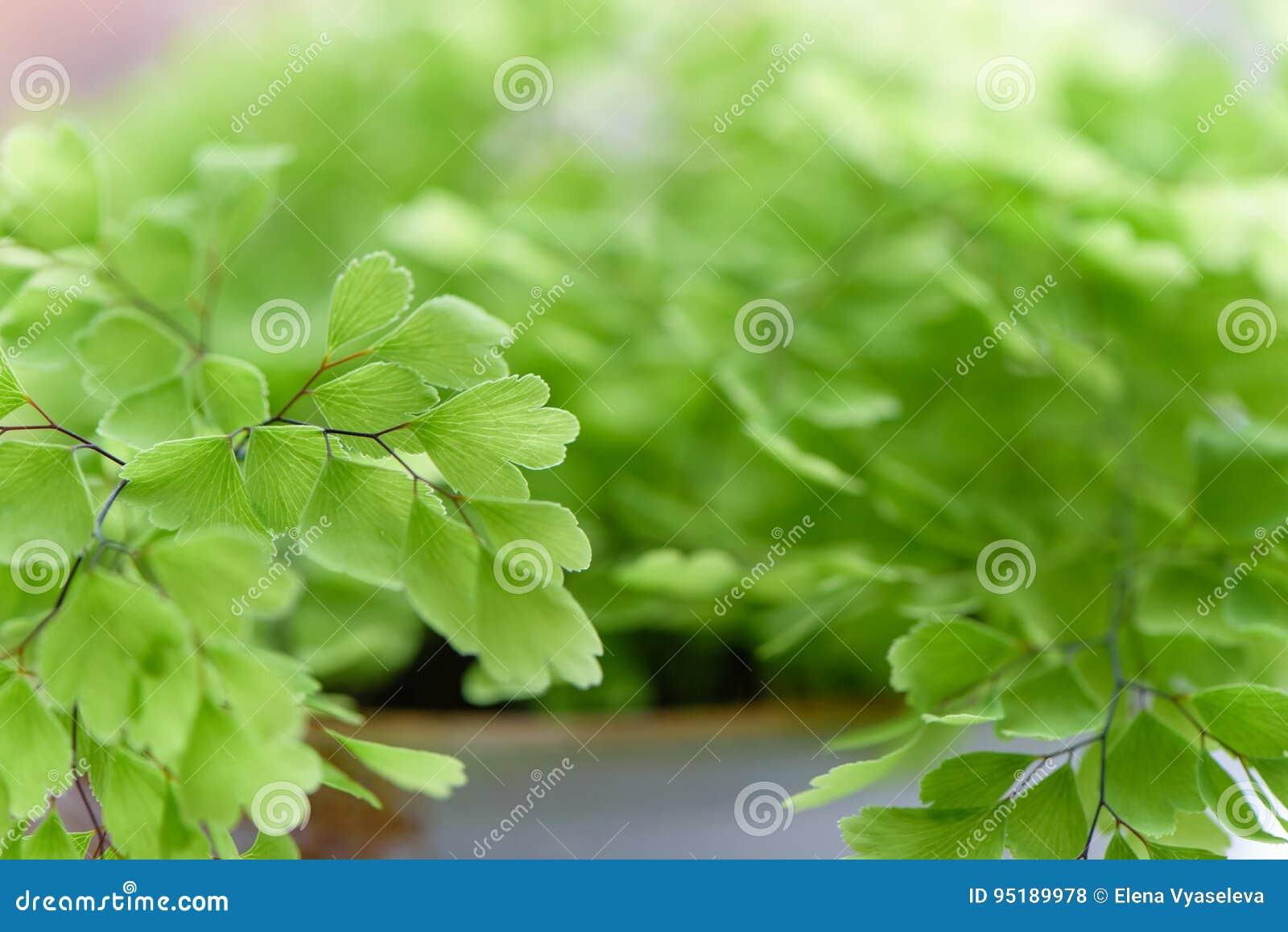Macro of adiantum philippense or maidenhair fern growing in a