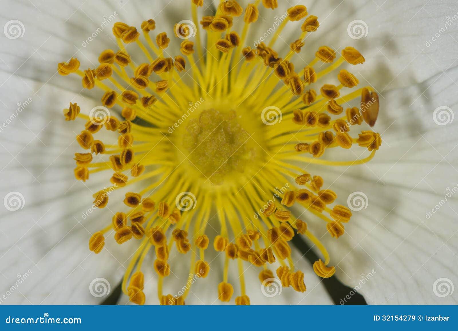Macro amarilla de la flor del pistilo