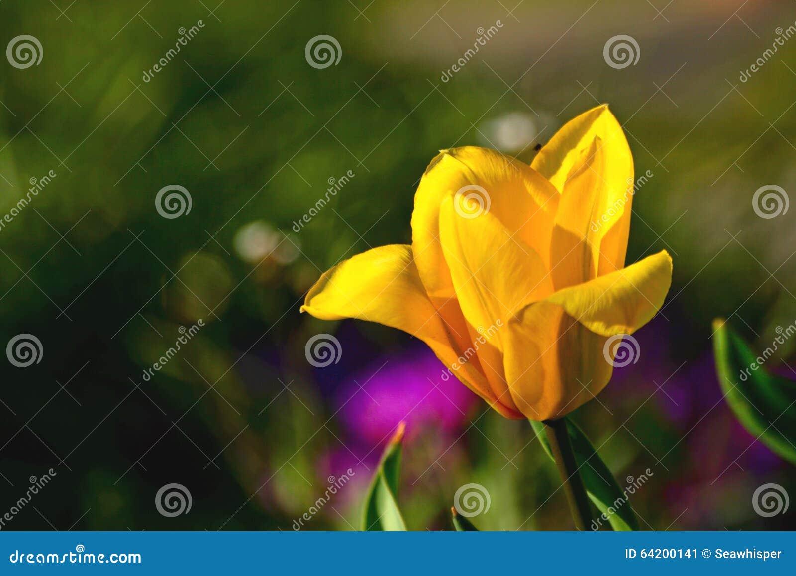Macro amarilla del tulipán