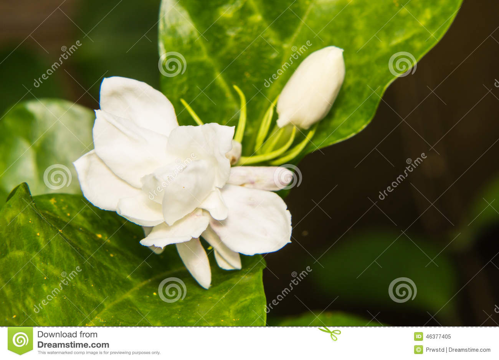 Macro arabian jasmine stock image image of botany flower 46377405 macro arabian jasmine izmirmasajfo