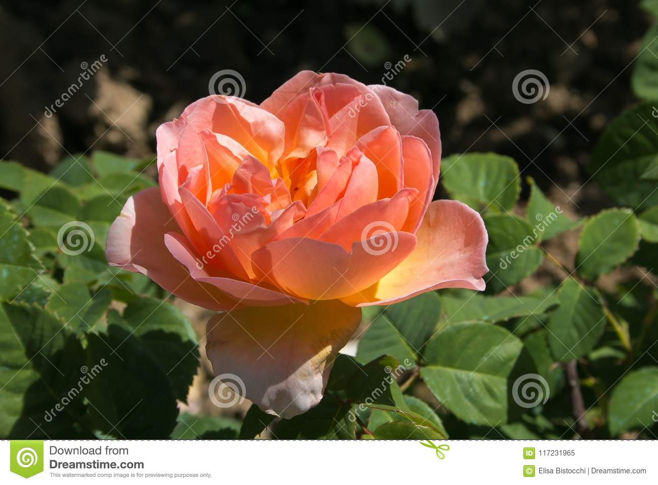 Macro of beautiful rose flower in garden stock image image of download macro of beautiful rose flower in garden stock image image of decoration floral izmirmasajfo