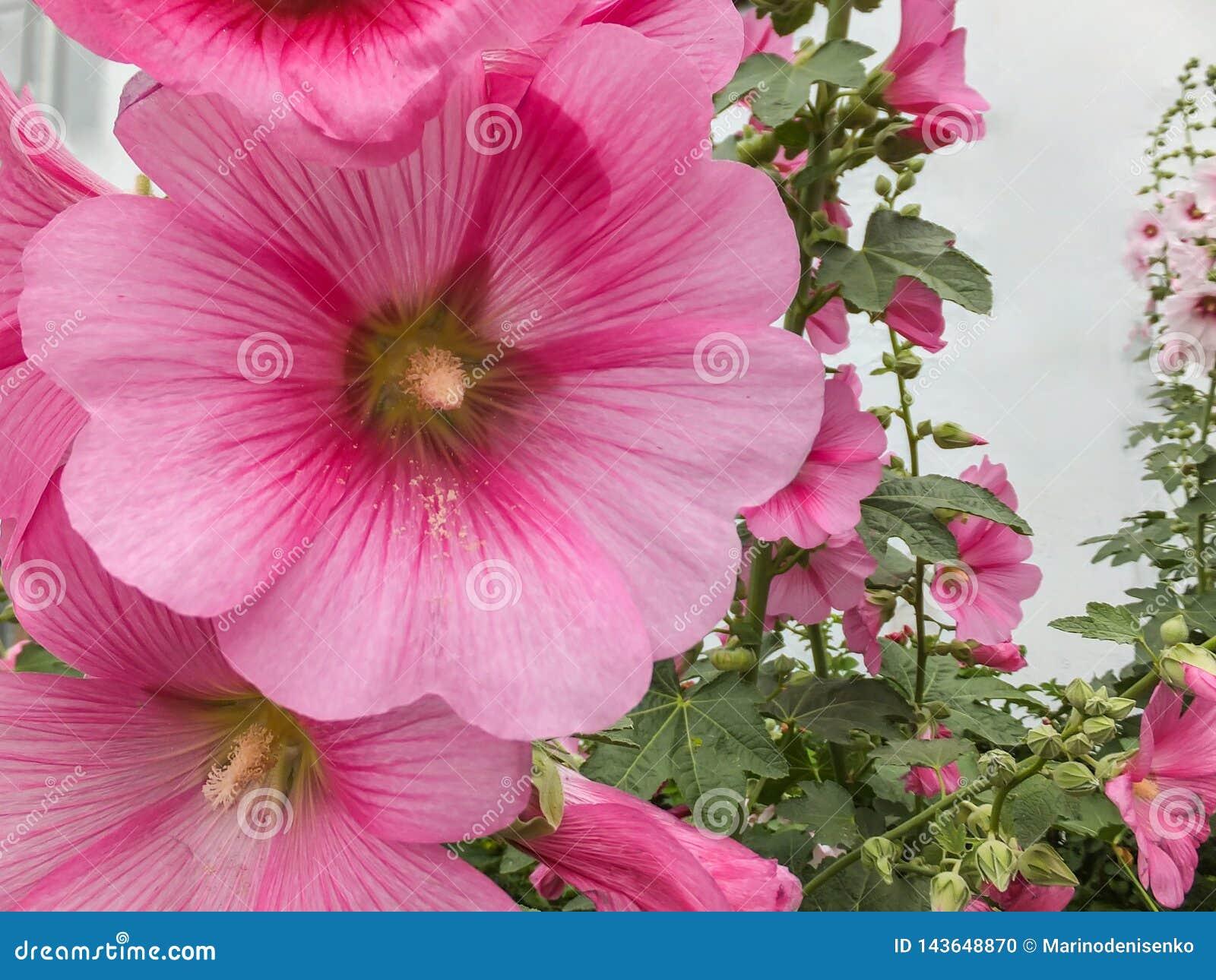Macro bello rosea del Alcea, malva rosa o malvarosa nel giardino Malvarosa alta del fiore con i fiori enormi