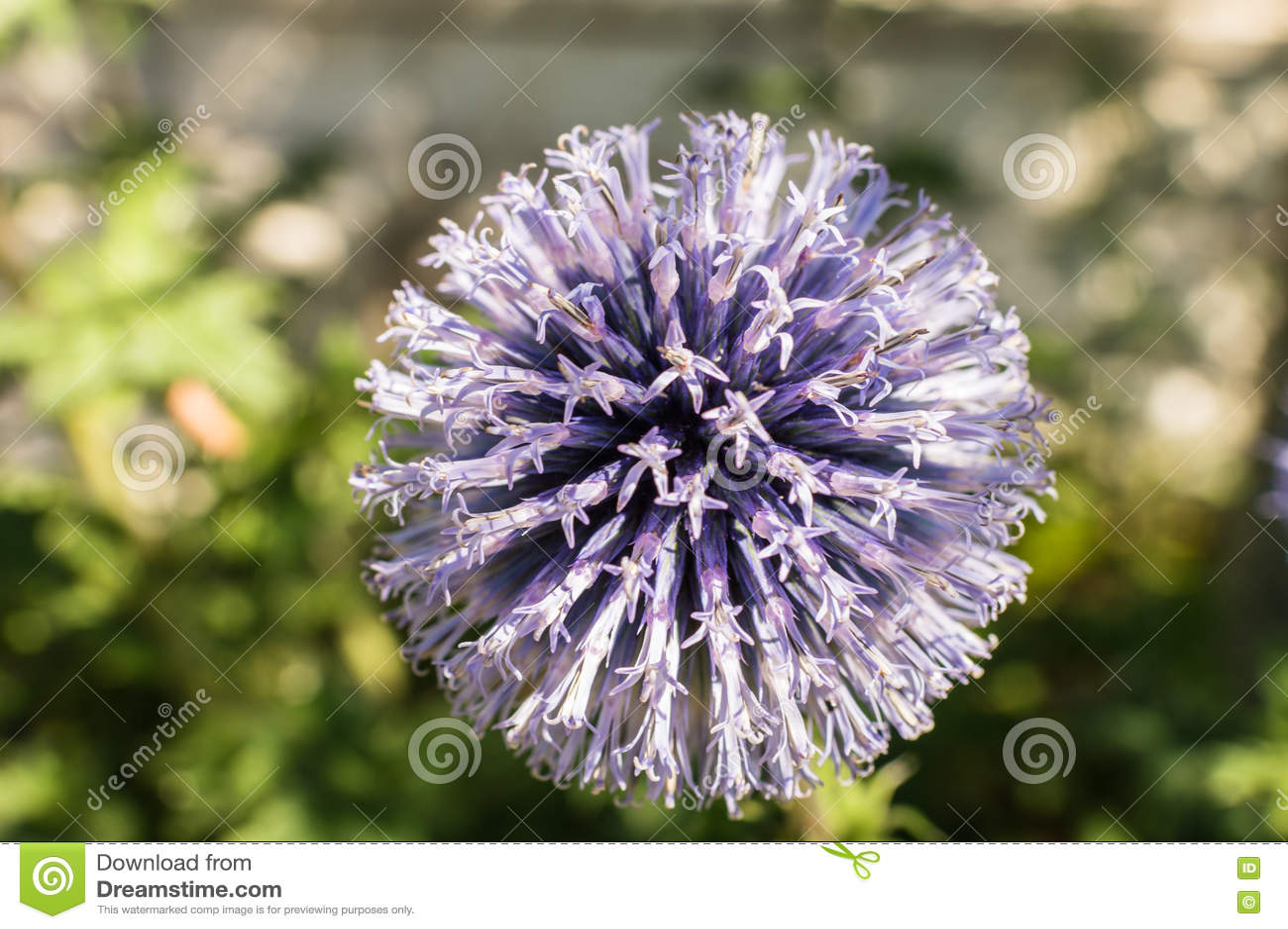 macro bleu de fleur dans le jardin image stock image du normal fleur 78582851. Black Bedroom Furniture Sets. Home Design Ideas