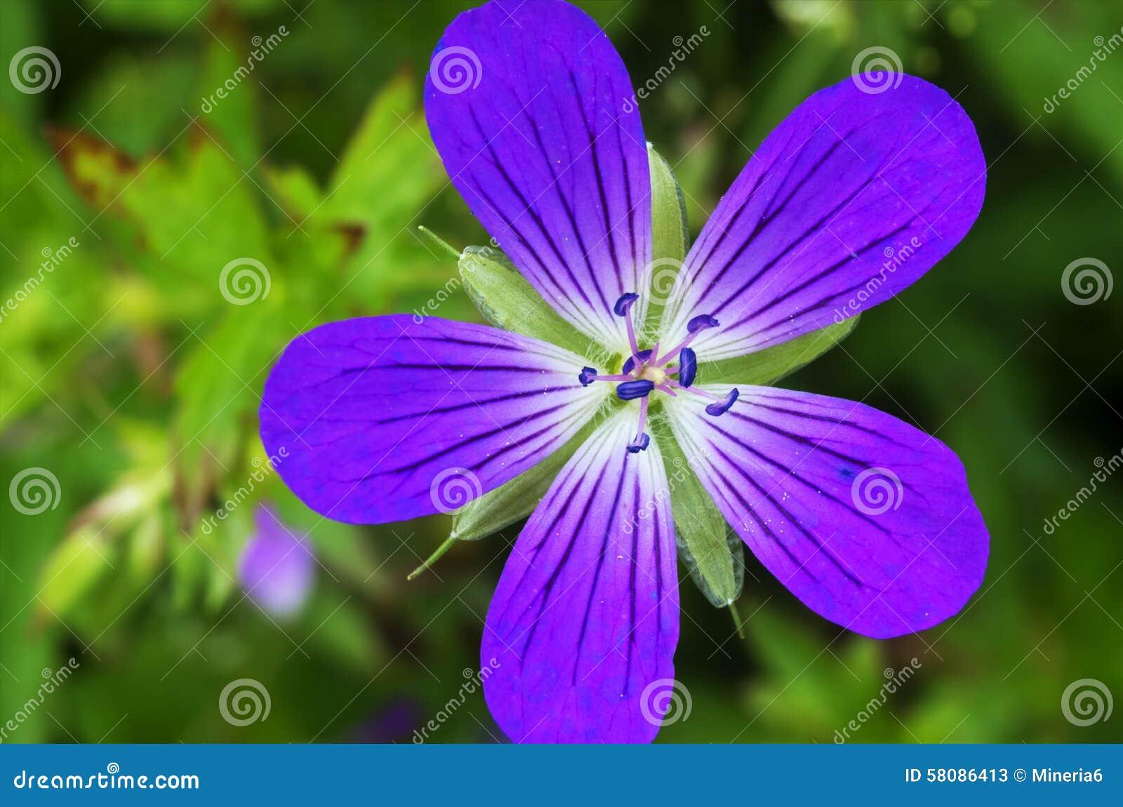 Macro bleu violet de plan rapproché de fleur de champ