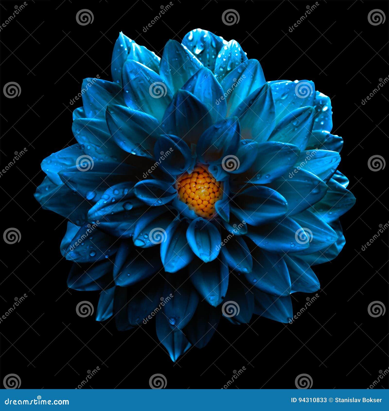 Macro blu della dalia del fiore del cromo scuro surreale isolata