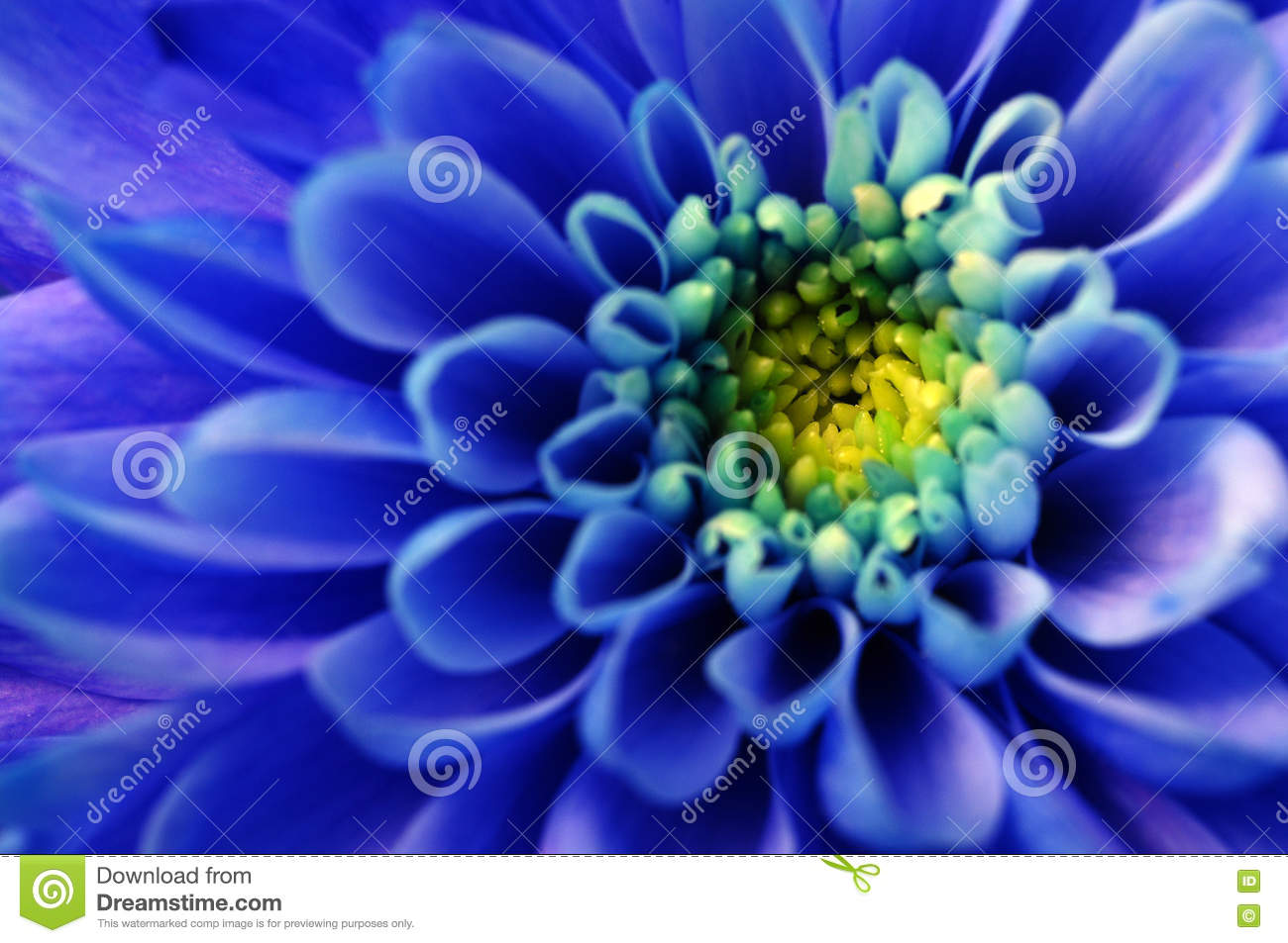 Macro Of Blue Aster Flower Stock Photo Image Of Blue 71630066