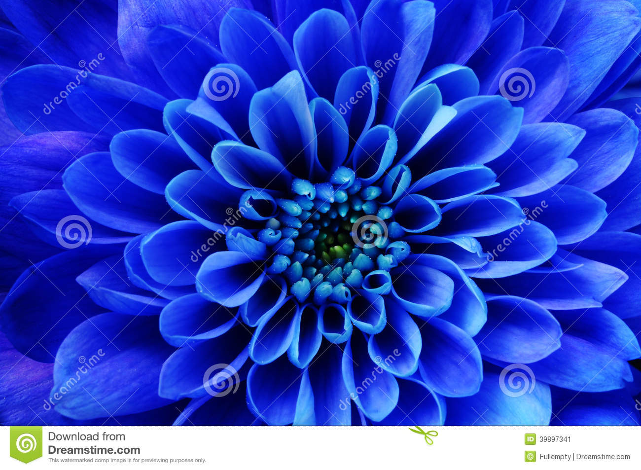 blue aster royalty free stock images  image, Natural flower