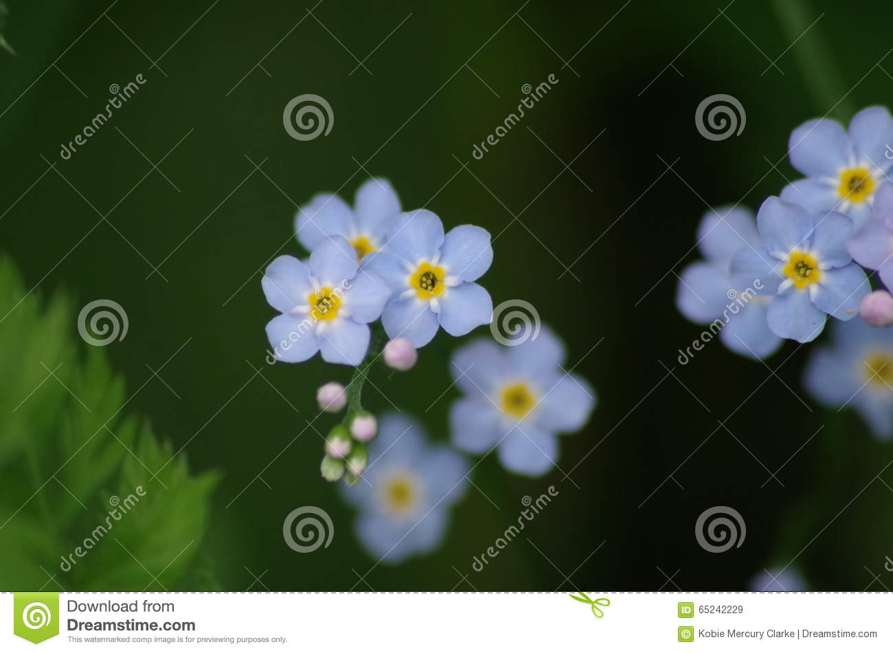Macro Blue Flowers With Yellow And White Center And Buds Stock Image