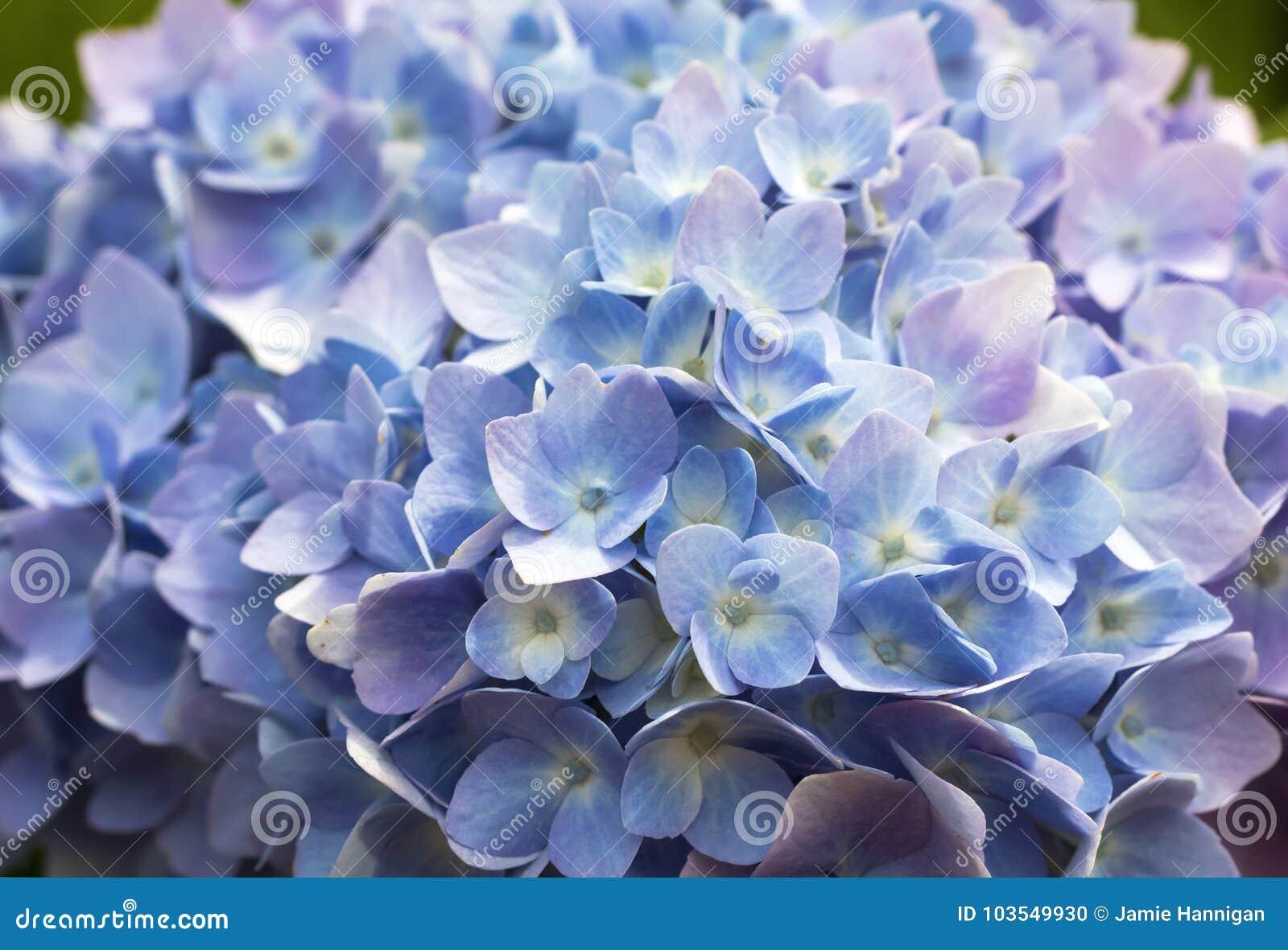 Macro blue and purple hydrangea stock photo image of blossom macro blue and purple hydrangea izmirmasajfo