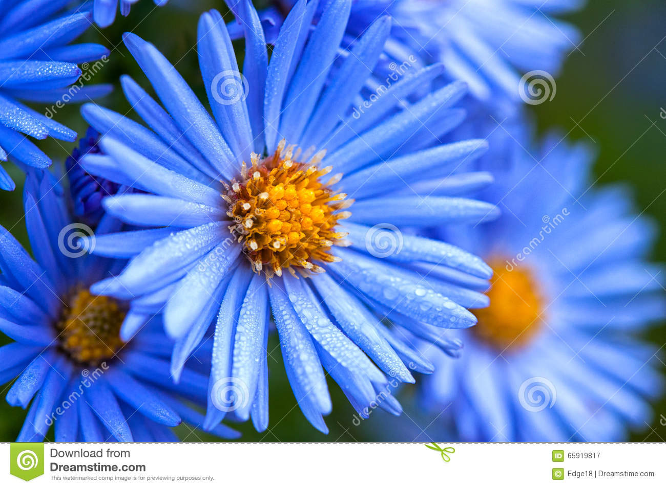 Macro of blue spring flowers with morning water dew drops close blue dhlflorist Choice Image