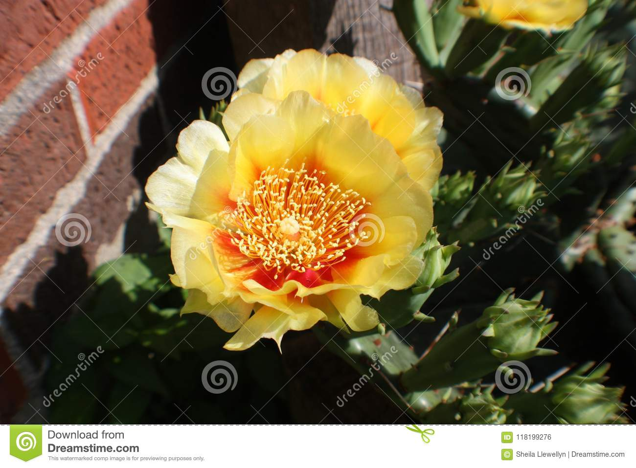 Macro Of A Bright Yellow Cactus Bloom With A Deep Orange Center