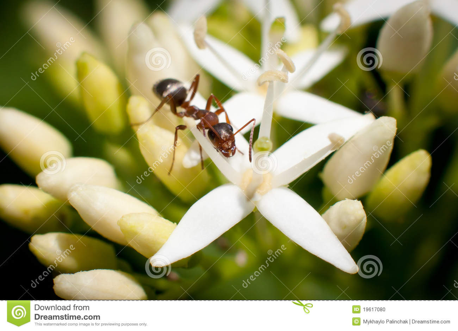 Macro brown ant
