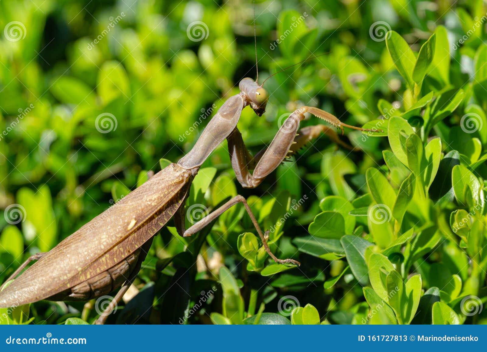 Macro Of Brown Female European Mantis Or Praying Mantis In Natural