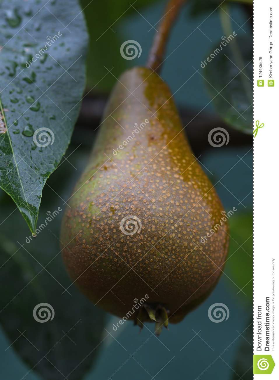 Download Macro Of A Brown And Green Pear Stock Image - Image of rain, pear: 124435529