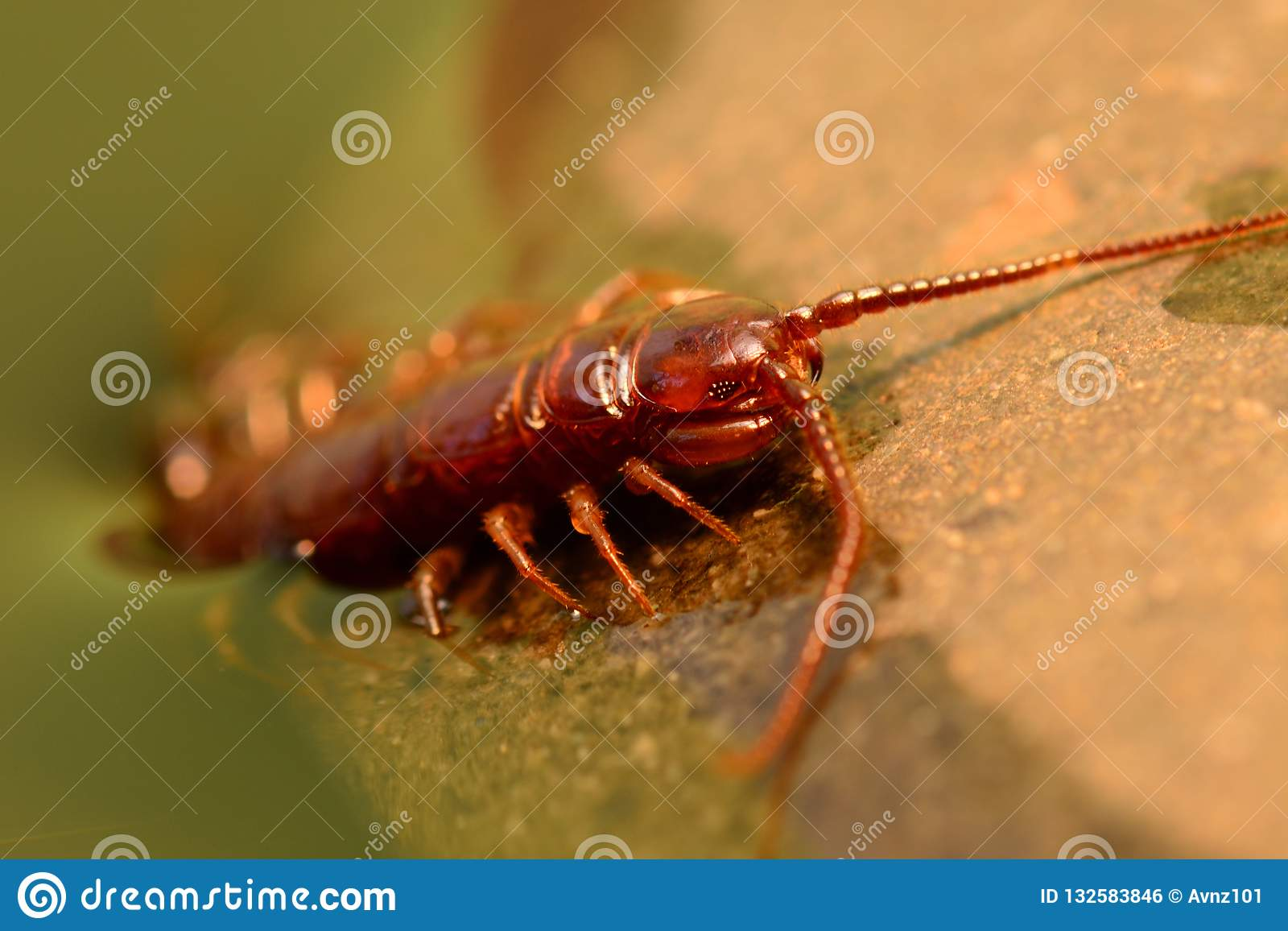 Macro of a brown scolopendra or stone centipede Lithobius forficatus crawling out of water; fine details of the head