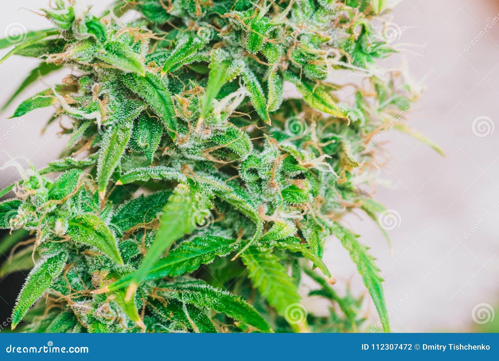 Macro Bud Cannabis, Medicinal Marijuana Cbd Thc  Concepts Of