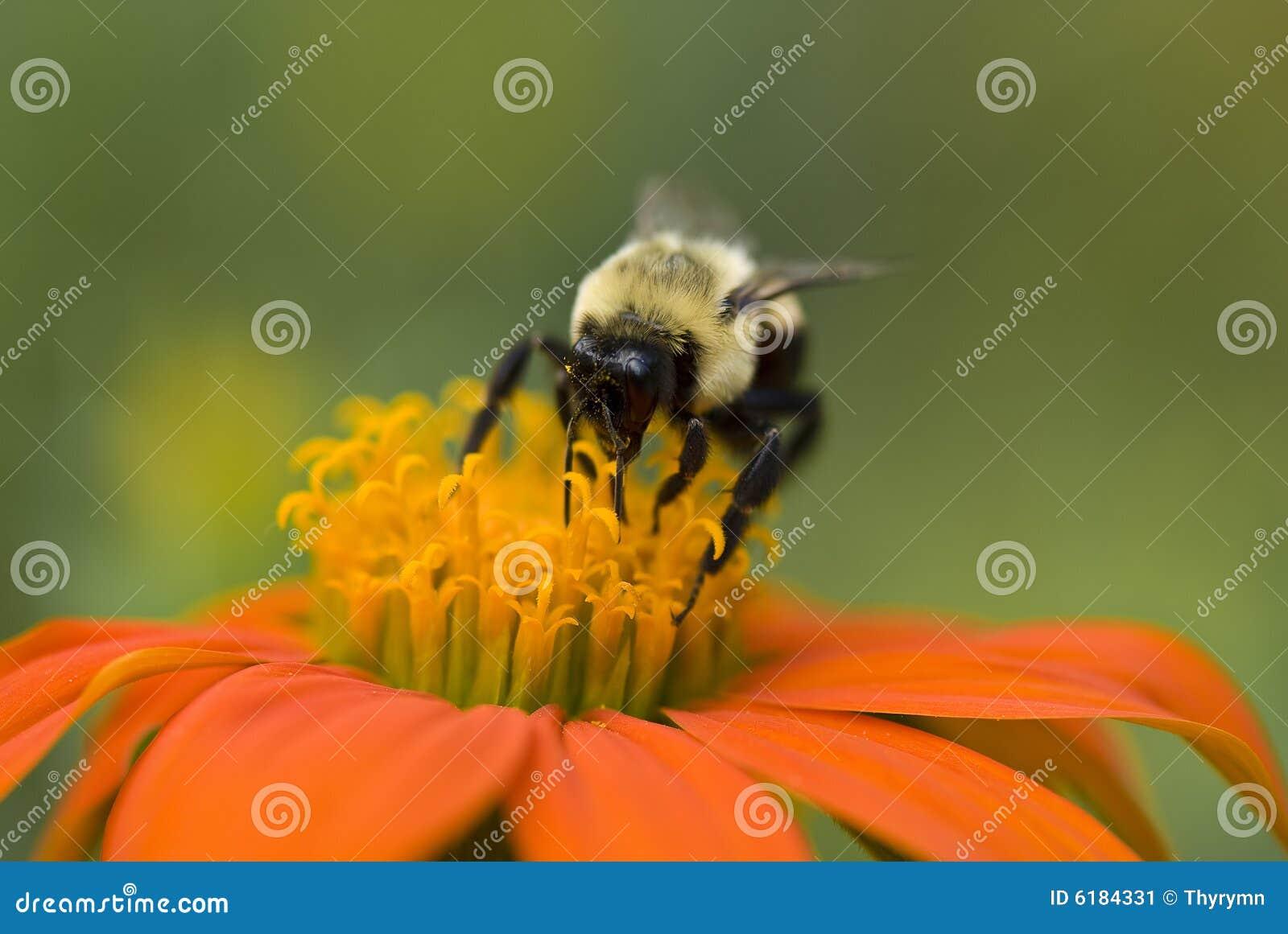 A macro of a bumble bee