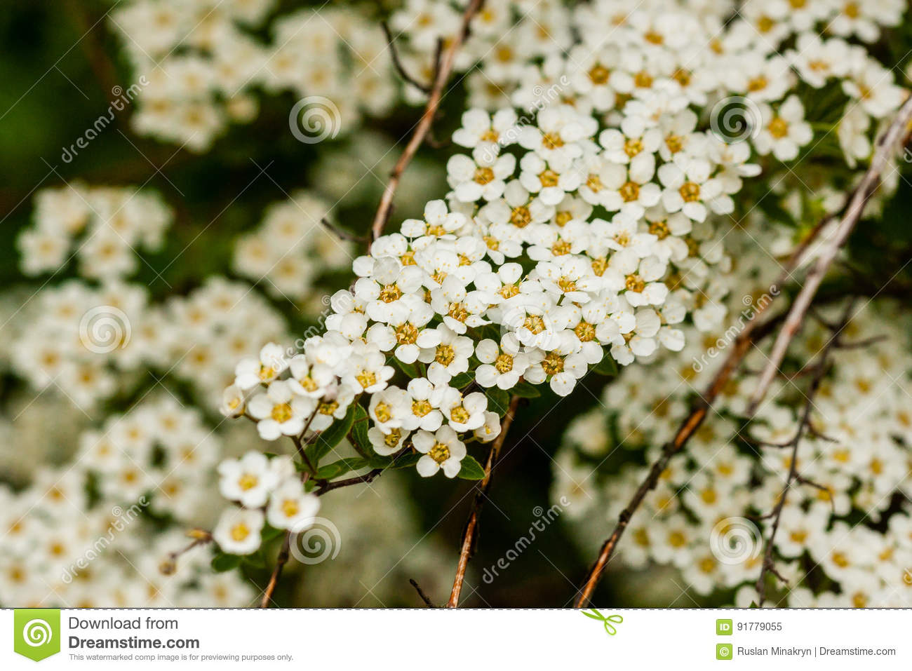 Macro bush of small white flowers on a branch stock image image of macro bush of small white flowers on a branch mightylinksfo