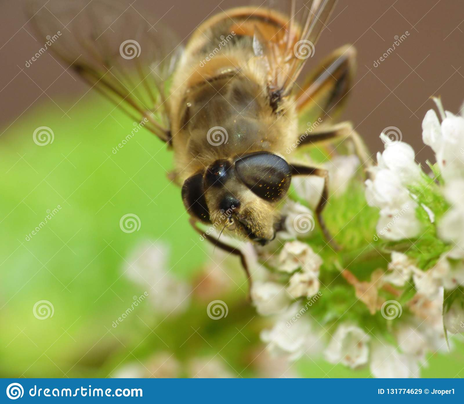 Macro close up of bee on a flower collecting pollen photo taken in the UK