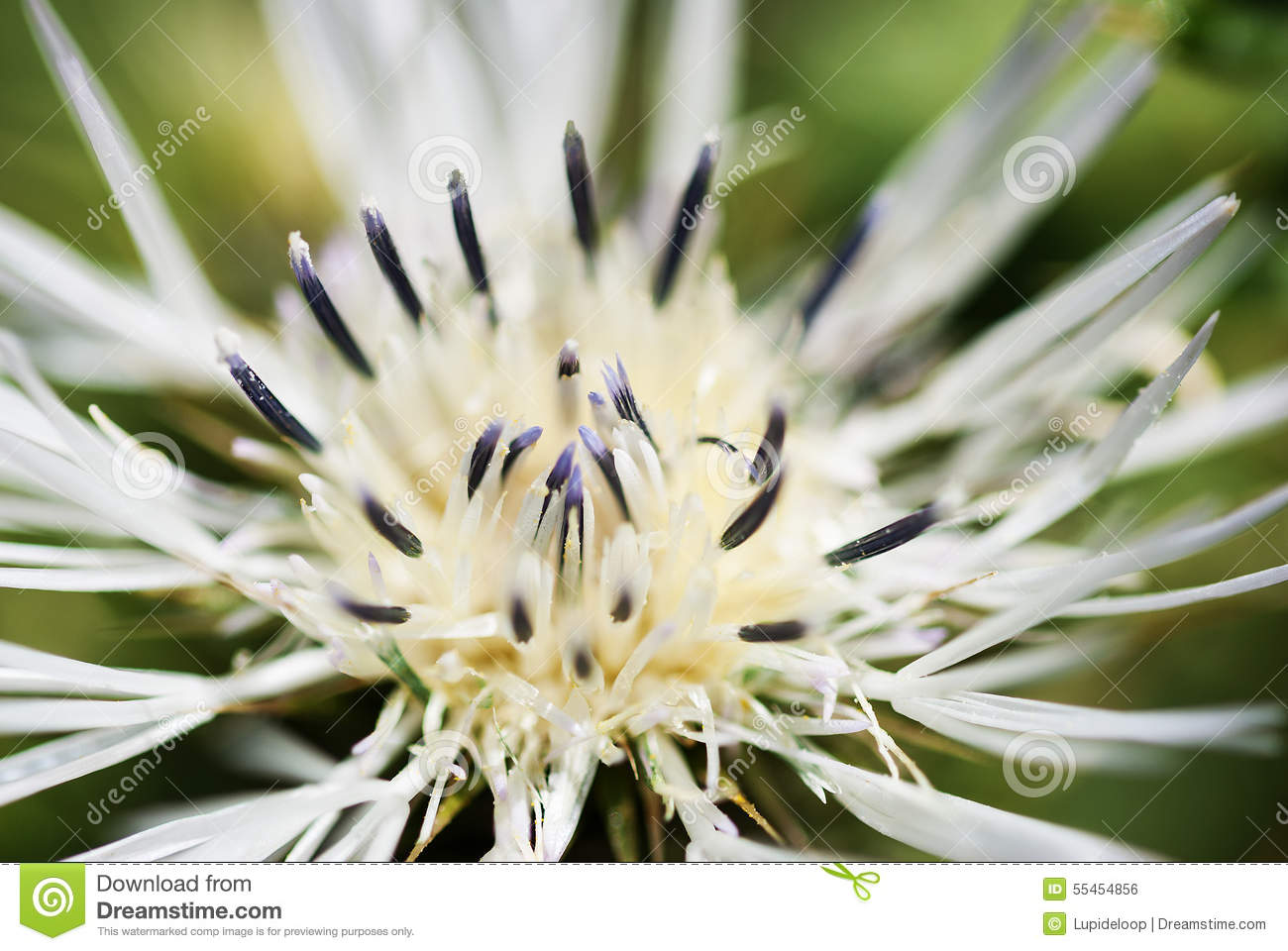 Macro Close Up Image Of A White Thistle Flower Stock Photo Image