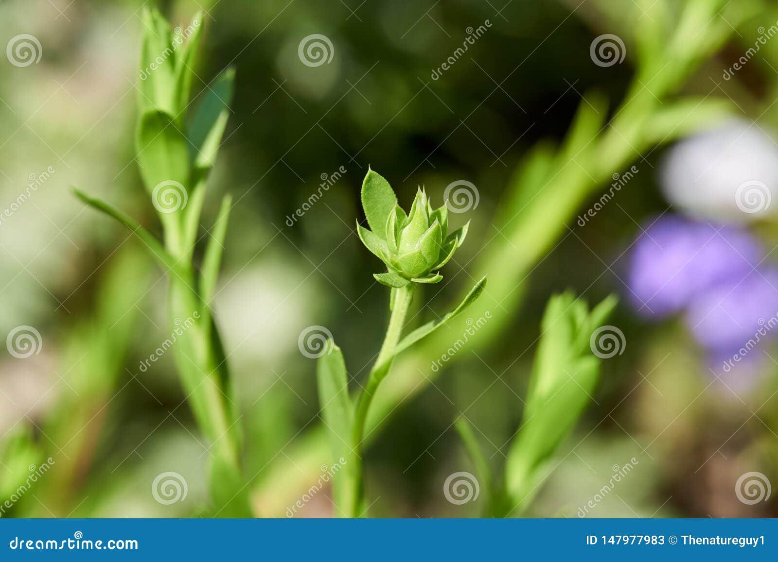 Macro Close up of Texas Sleepydaisy Xanthisma texanum prebloom flower bud.